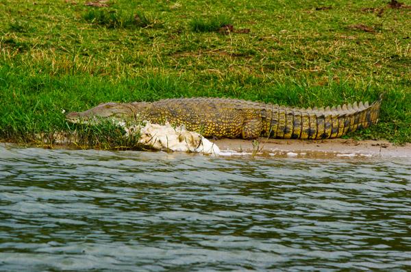 lake victoria - crocodiles in uganda