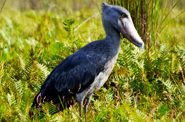 Mabamba Island - Home to Shoebills
