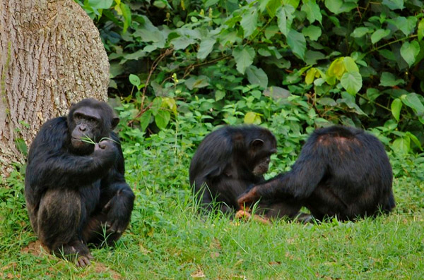 Ngamba island chimpanzee sanctuary - chimpanzees in Uganda