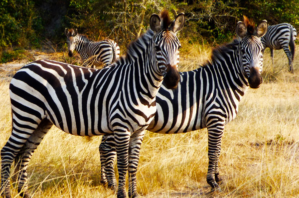 Zebras at Uganda Wildlife Education Centre